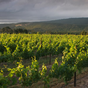 A vineyard in Plett